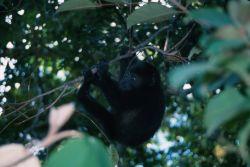 Mexican Black Howler Monkey (Alouatta pigra) Photo
