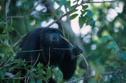 Mexican Black Howler Monkey (Alouatta pigra) Photo