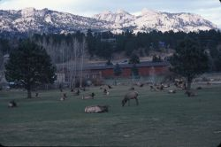 Elk on the Golf Course Photo