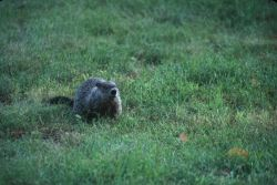 Woodchuck (Marmota monax) Photo