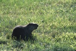 Woodchuck (Marmota monax) Photo