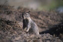 California Ground Squirrel (Spermophilus beecheyi) Photo