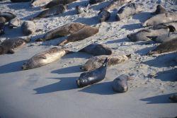 Harbor Seals (Phoca vitulina) Photo