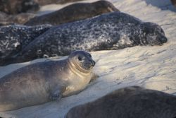Harbor Seals (Phoca vitulina) Photo
