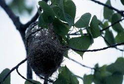 Baltimore Oriole Nest Photo