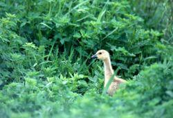 Canada Goose Gosling (Branta canadensis) Photo