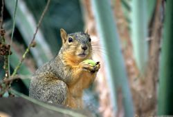 Fox Squirrel (Sciurus niger) Photo