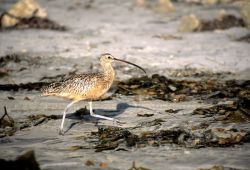 Long-billed Curlew (Numenius americanus) Photo