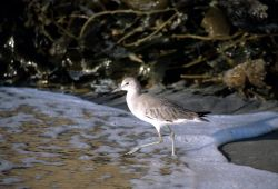 Willet (Catoptrophorus semipalmatus) Photo