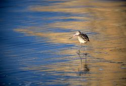 Marbled Godwit (Limosa fedoa) Photo