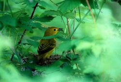 Yellow Warbler (Dendroica petechia) Photo