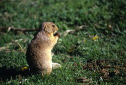 White-tailed Prarie Dog (Cynomys leucurus) Photo