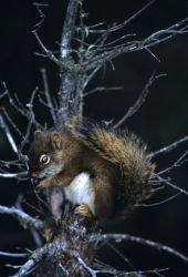 Red Squirrel (Tamiasciurus hudsonicus) Photo
