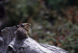 American Pika (Ochotona princeps) Photo