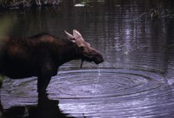 Moose (Alces alces) Image