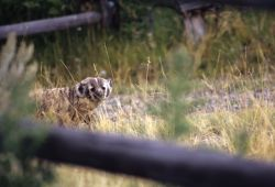 American Badger (Taxidea taxus) Image