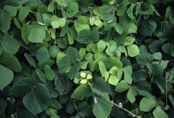 Kudzu (Pueraria montana) Photo