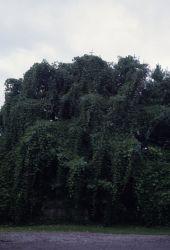 Kudzu (Pueraria montana) Photo