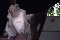 Long-tailed Macaque (Macaca fascicularis) Photo
