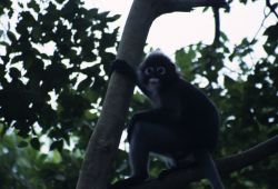 Dusky Leaf Monkey (Trachypithecus obscurus) Photo