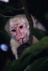 White-faced Capuchin (Cebus capucinus) Photo