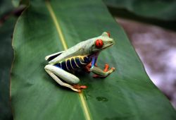 Red-eyed Treefrog (Agalychnis callidryas) Image