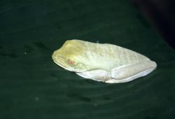 Red-eyed Treefrog (Agalychnis callidryas) Photo