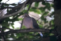 Mourning Dove (Zenaida macroura) Photo