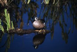 Blue-winged Teal (Anas discors) Image