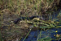 American alligator (Alligator mississippiensis) Photo