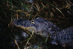 American alligator (Alligator mississippiensis) Image