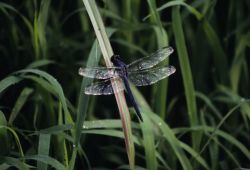 Great Blue Skimmer (Libellula vibrans) Photo