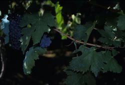 Wine Grapes Photo