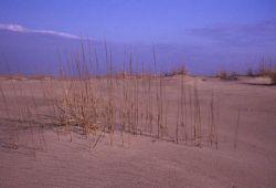 Sand Dune Grasses Photo
