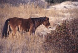 Feral Horse (Equus caballus) Photo