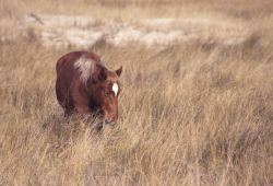 Feral Horse (Equus caballus) Photo