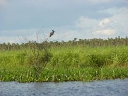 Floating vegetation in Pantanal Photo