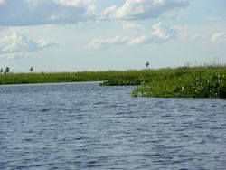 Floating vegetation in Pantanal Photo