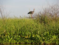 Southern Screamer in Pantanal Photo