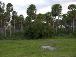 Palm Savannah in Pantanal Photo