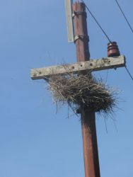 Monk Parakeet Nest on Utility Pole Photo