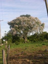 Samu'u tree (Chorisia speciosa) in flower Photo
