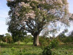 Samu'u tree (Chorisia speciosa) in flower Photo