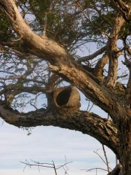 Mud Nest of Hornero in Tree Photo