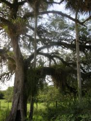 Tree Covered in Epiphytes Photo