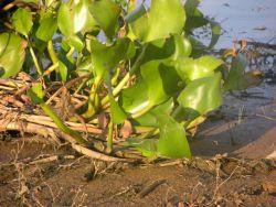 Water Hyacyith (Eichhornia crassipes) Photo