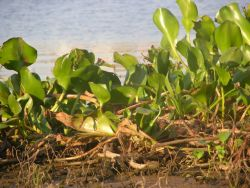 Water Hyacinth (Eichhornia crassipes) Photo