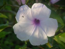 Morning Glory (Ipomoea carnea) Photo