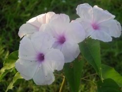 Morning Glory (Ipomoea carnea) Photo