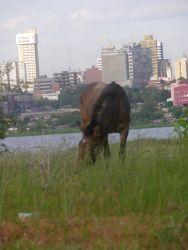 Asuncion Mule (Equus) Photo